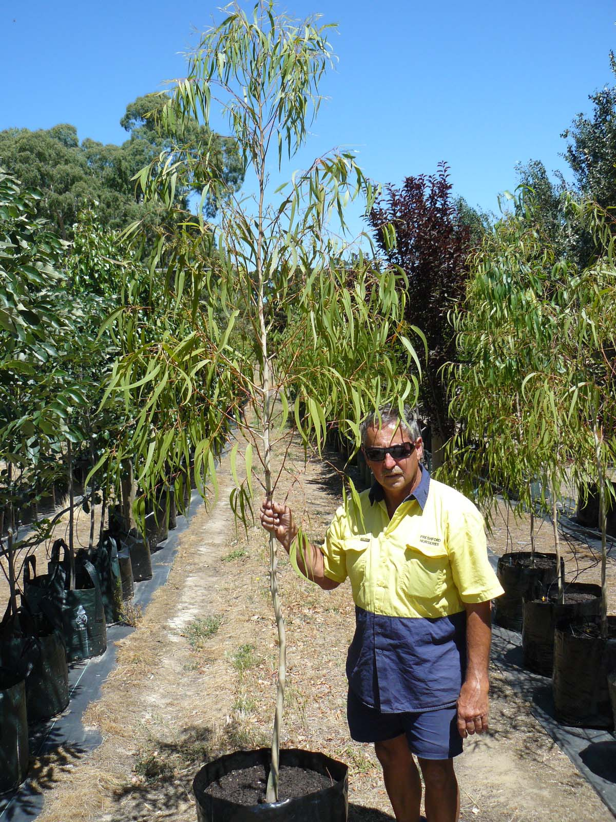 Corymbia (Eucalyptus) citriodora scentious