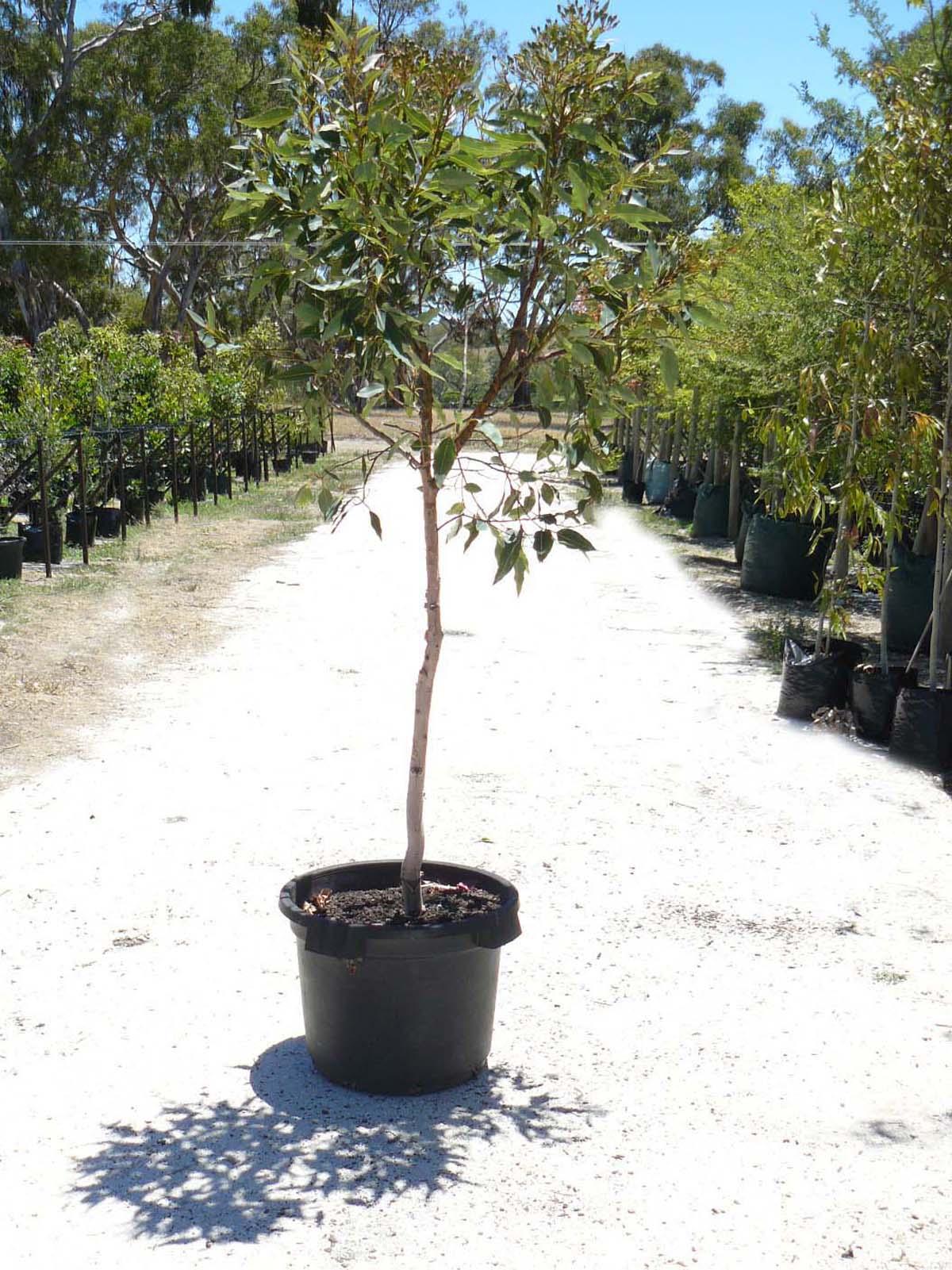 Corymbia (Eucalyptus) ficifolia