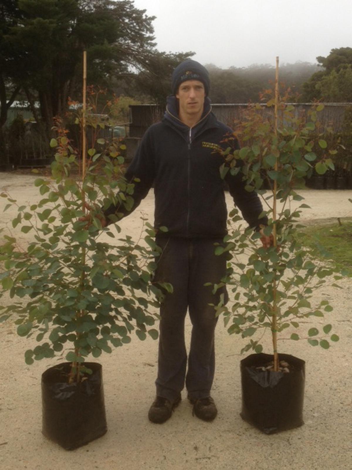 Eucalyptus cladocalyx (Nana)