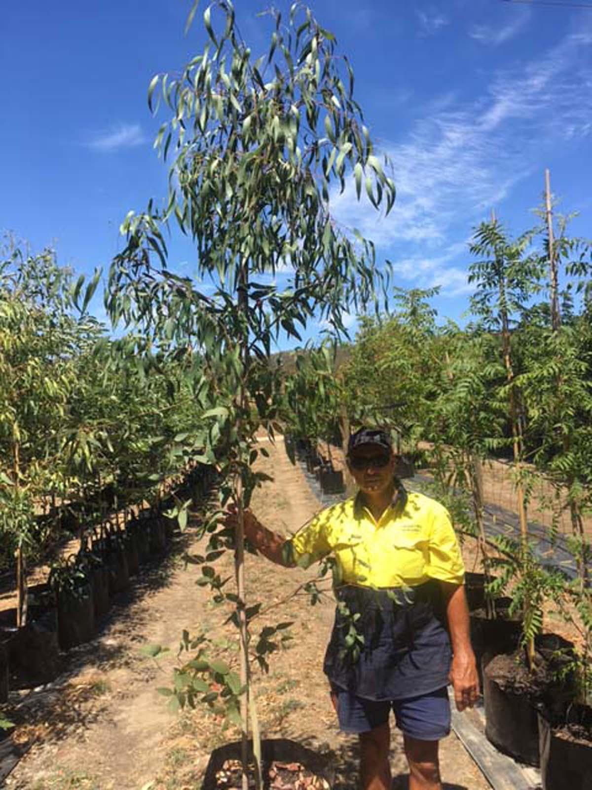 Eucalyptus leucoxylon leucoxylon
