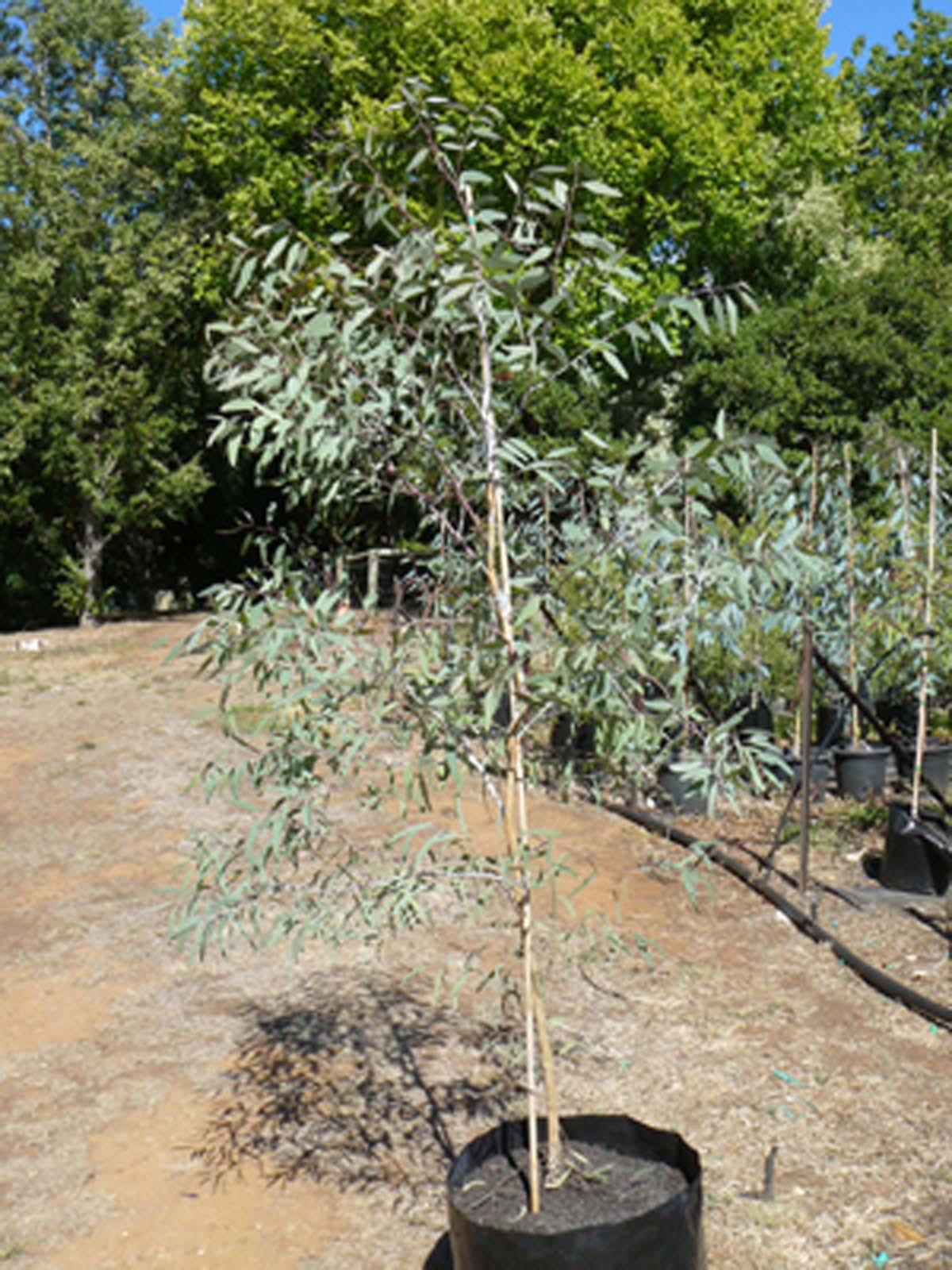 Eucalyptus sideroxylon ÒRoseaÓ