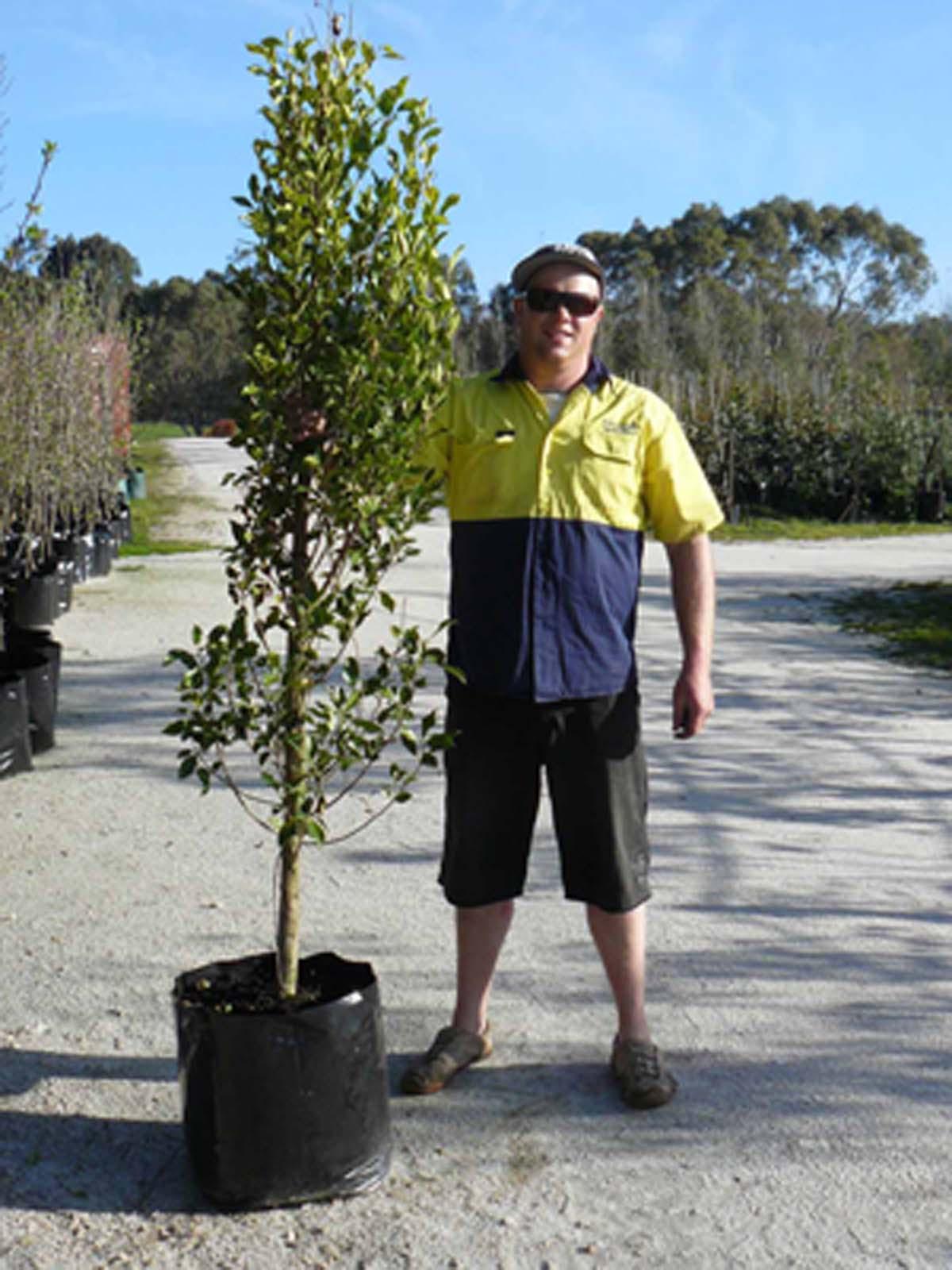 Ficus Microcarpa Var. Hillii
